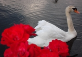 Puzzle au nom de la rose