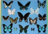 Puzzle papillons tropicaux