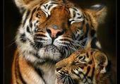 Puzzle le tigre