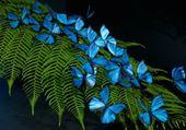 Papillons bleus du brésil
