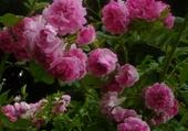 Roses de Bulgarie