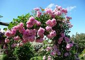 L'arche de roses
