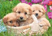 3 petits chiots