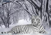 Seigneur tigre...