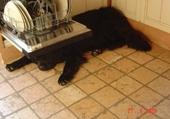 terre-neuve sous lave-vaisselle