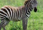 le puzzle du zebre