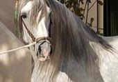 Puzzle cheval  espagnole