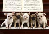 Chihuahua Concerto