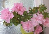 Azalée en fleur