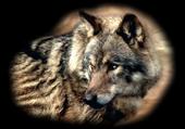 portrait  le  loup
