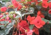 bégonia rouge