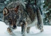 beauté de  la  nature   le  loup