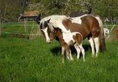 cheval avec son poulain