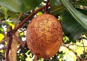 abricot des antilles