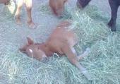 poney + poulin