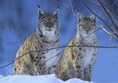 Puzzle lynx