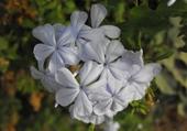 Fleur du Maghreb