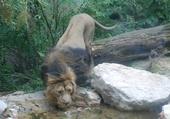 Puzzle lion d'afrique