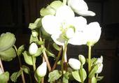 fleurs blanches par h