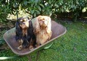 chiens dans la brouette