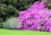Un paon dans les fleurs