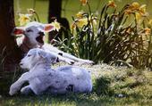 doux comme des agneaux