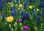 Champs en fleur
