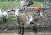 Chèvre :)