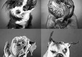 Folie canine