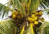 Cocotier en Thailande