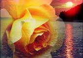 rose par h