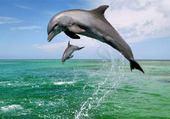 Puzzle dauphins