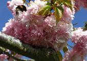 fleurs cerisier pleureure