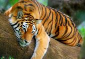 tro beau tigre