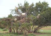 chèvres au maroc