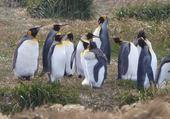 empereurs en Patagonie