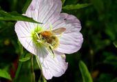 Bourdon plien de pollen