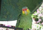 Perroquet au Guatémala