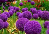 Puzzle fleurs mauve