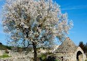 arbre d'amende en fleure