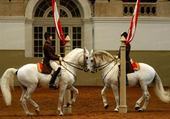chevaux ecole de vienne
