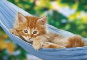 chatons roux