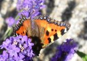Papillon sur du lilas