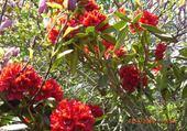 Rhododendrons en fleurs