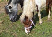 poneys