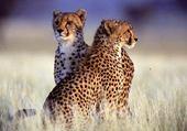 Magnifiques guépards
