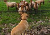 Puzzle sim découvre les moutons