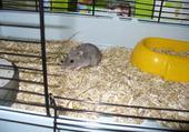 hamster kiwi