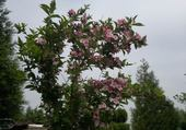 arbre fleurie