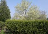 arbre  prune en fleur